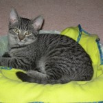 Ezzie, the silver tabby kitten, in her bed