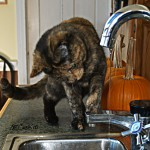 Nike, the cat, attacking the stream of water from the faucet